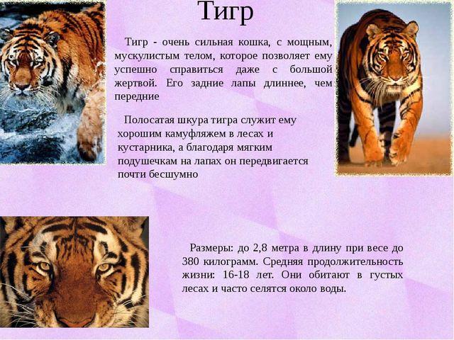 Тигр Размеры: до 2,8 метра в длину при весе до 380 килограмм. Средняя продолж...