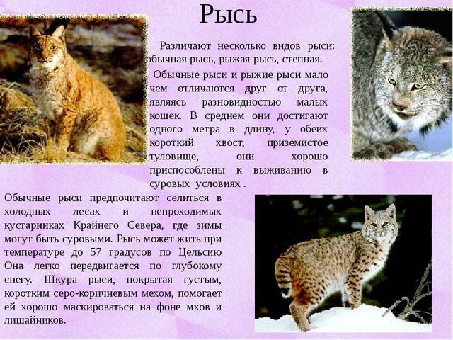 Рысь Различают несколько видов рыси: обычная рысь, рыжая рысь, степная. Обычн...
