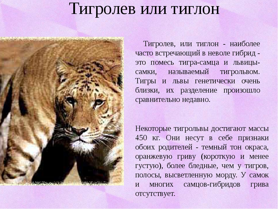 Тигролев или тиглон Тигролев, или тиглон - наиболее часто встречающий в невол...