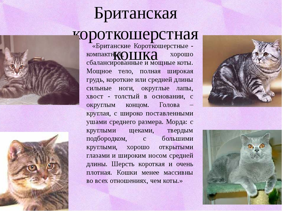 Британская короткошерстная кошка «Британские Короткошерстные - компактные, хо...