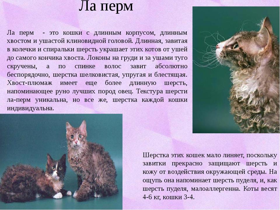 Ла перм Ла перм - это кошки с длинным корпусом, длинным хвостом и ушастой кли...