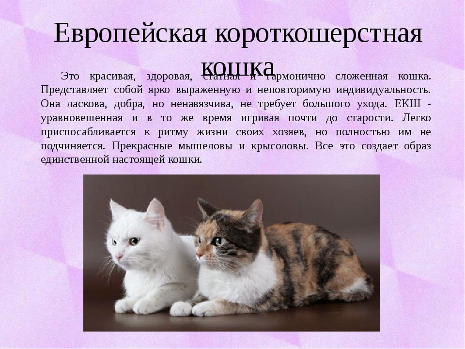 Европейская короткошерстная кошка Это красивая, здоровая, статная и гармоничн...