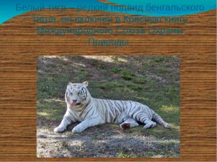 Белый тигр – редкий подвид бенгальского тигра, он включен в Красную книгу Меж
