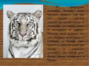 В природных условиях белому тигру труднее выжить, так как его выдает светла
