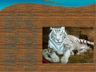 Все белые тигры, содержащиеся сегодня в неволе, происходят от одного общего