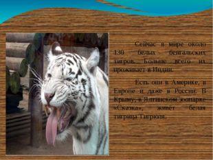 Сейчас в мире около 130 белых бенгальских тигров. Больше всего их проживает