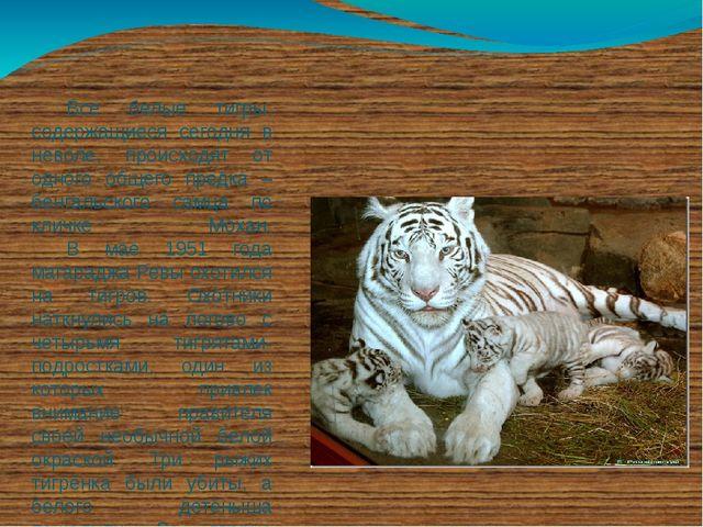 Все белые тигры, содержащиеся сегодня в неволе, происходят от одного общего...