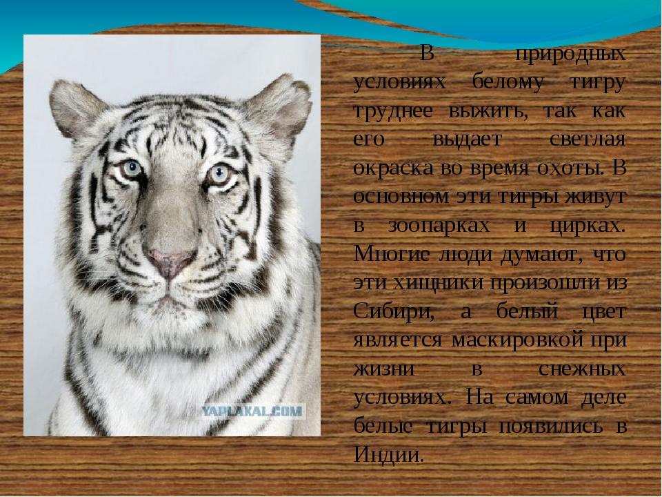 В природных условиях белому тигру труднее выжить, так как его выдает светла...