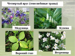 Четвертый ярус (тенелюбивые травы) Медуница Купена Вороний глаз Ветреница