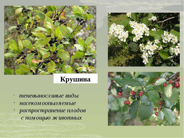 Крушина теневыносливые виды насекомоопыляемые распространение плодов с помощь...