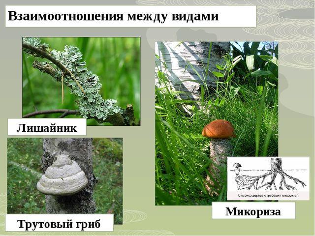 Взаимоотношения между видами Лишайник Трутовый гриб Микориза