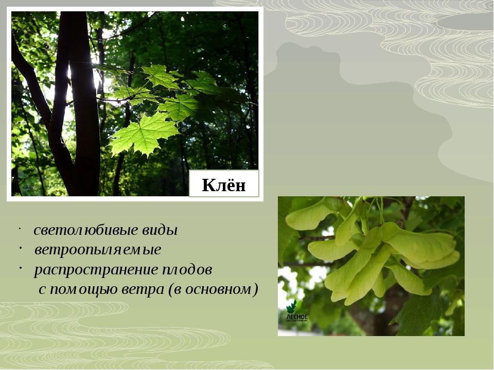 Клён светолюбивые виды ветроопыляемые распространение плодов с помощью ветра...