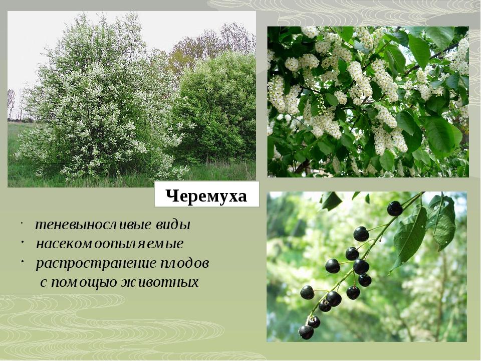 Черемуха теневыносливые виды насекомоопыляемые распространение плодов с помощ...