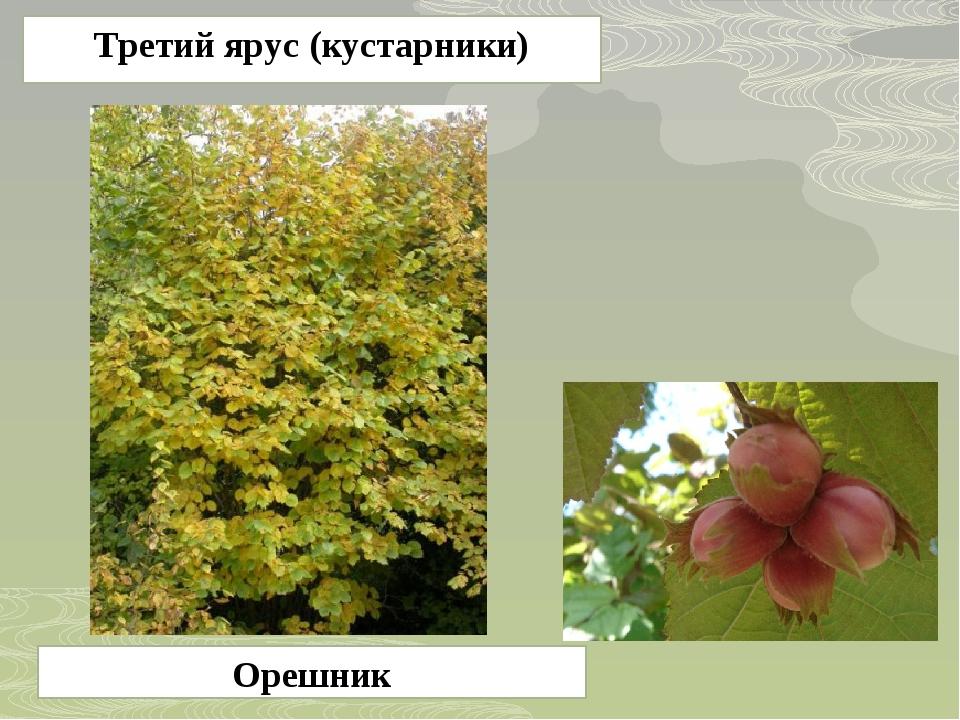 Орешник Третий ярус (кустарники)