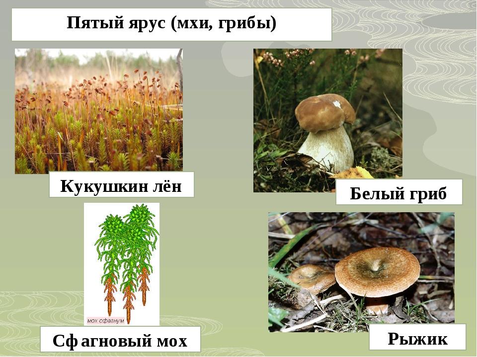 Пятый ярус (мхи, грибы) Кукушкин лён Сфагновый мох Рыжик Белый гриб