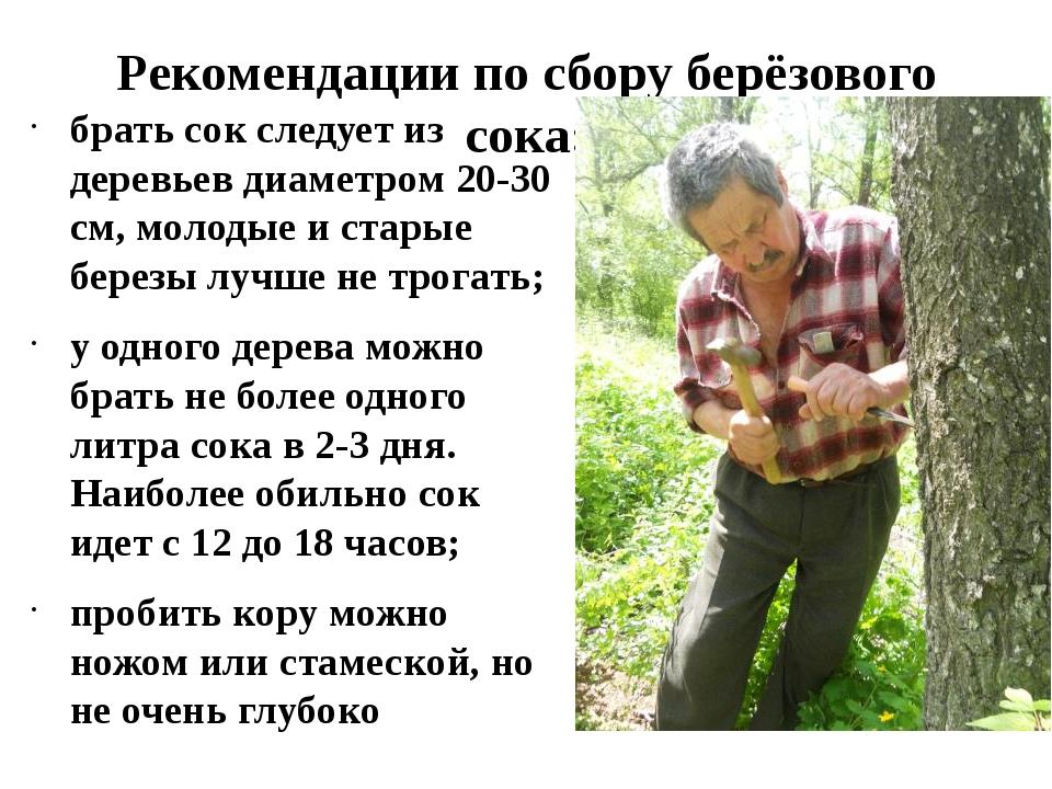 Рекомендации по сбору берёзового сока: брать сок следует из деревьев диаметро...