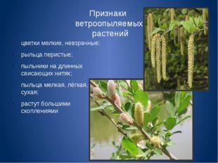 Признаки ветроопыляемых растений цветки мелкие, невзрачные; рыльца перистые;