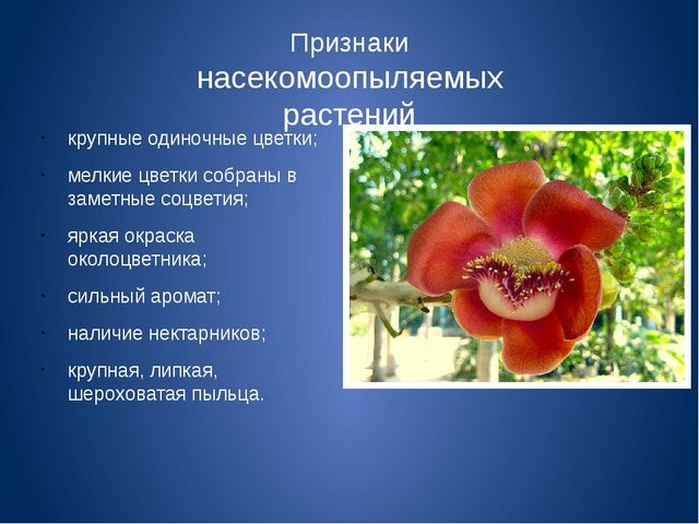 Признаки насекомоопыляемых растений крупные одиночные цветки; мелкие цветки с...