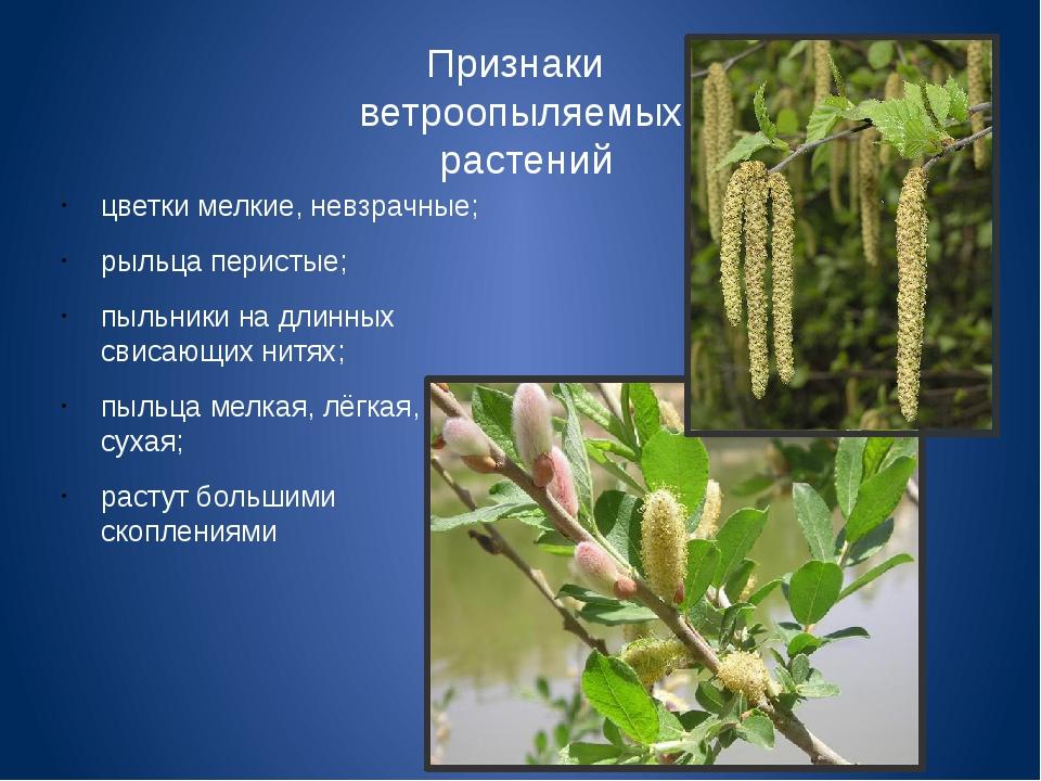 Признаки ветроопыляемых растений цветки мелкие, невзрачные; рыльца перистые;...
