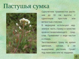 Однолетнее травянистое расте-ние до 30 см высоты с одиночным простым или ветв