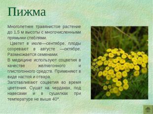 Многолетнее травянистое растение до 1,5 м высоты с многочисленными прямыми ст