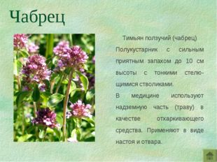 Тимьян ползучий (чабрец) Полукустарник с сильным приятным запахом до 10 см вы