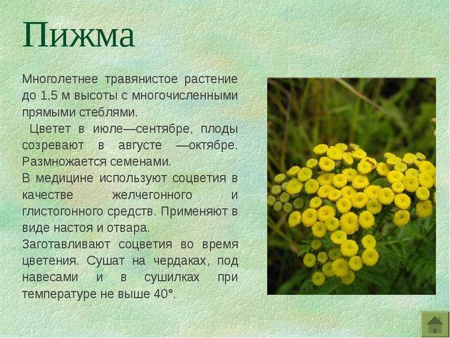 Многолетнее травянистое растение до 1,5 м высоты с многочисленными прямыми ст...
