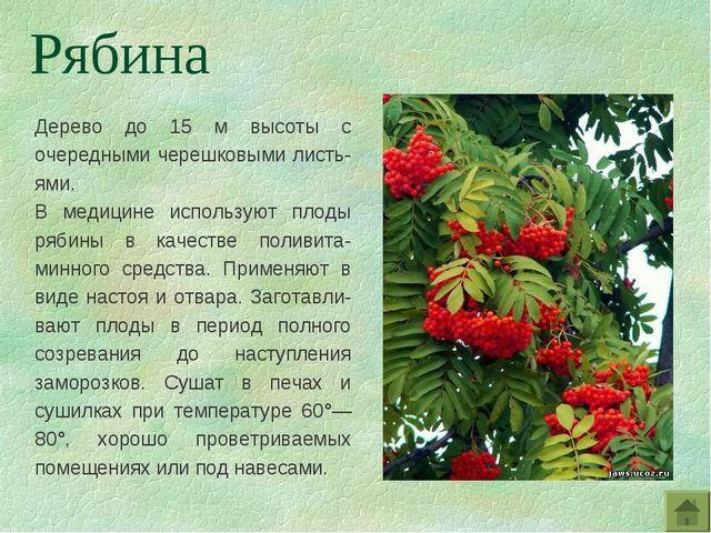 Дерево до 15 м высоты с очередными черешковыми листь-ями. В медицине использу...