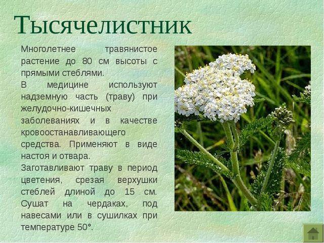Многолетнее травянистое растение до 80 см высоты с прямыми стеблями. В медиц...