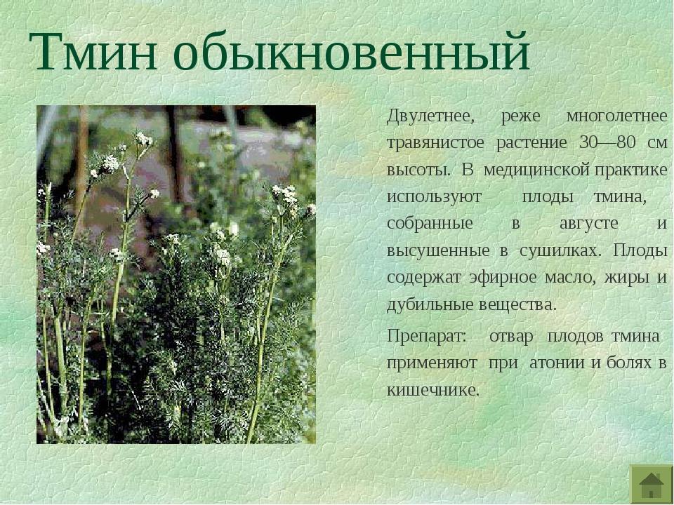 Тмин обыкновенный Двулетнее, реже многолетнее травянистое растение 30—80 см в...