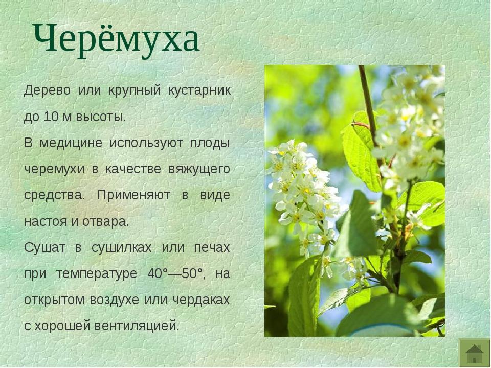Дерево или крупный кустарник до 10 м высоты. В медицине используют плоды чере...
