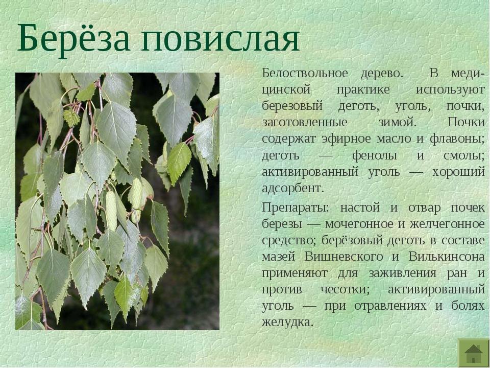 Берёза повислая Белоствольное дерево. В меди-цинской практике используют бере...