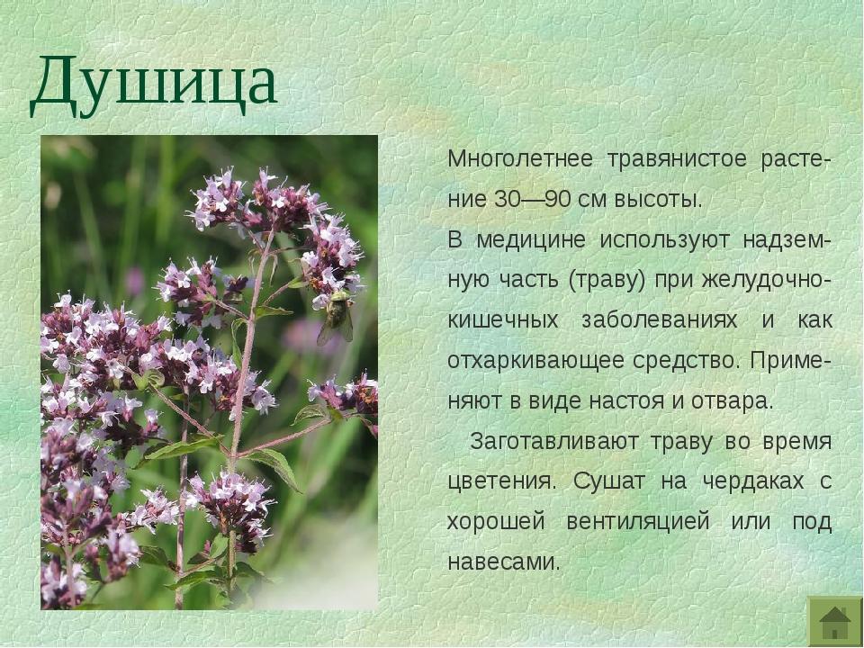 Многолетнее травянистое расте-ние 30—90 см высоты. В медицине используют надз...