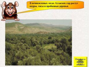 В вечнозеленых лесах Атласких гор растут кедры, тисы и пробковые деревья. Пер