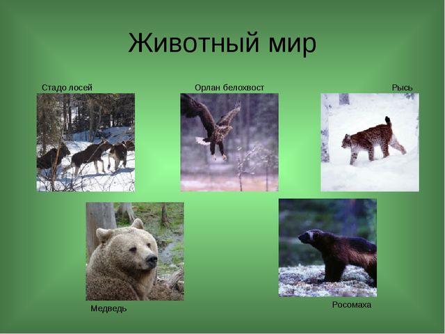 Животный мир Рысь Росомаха Медведь Орлан белохвост Стадо лосей