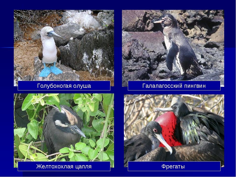 Голубоногая олуша Галапагосский пингвин Желтохохлая цапля Фрегаты