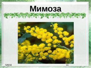 Мимоза
