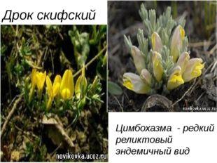 Дрок скифский Цимбохазма - редкий реликтовый эндемичный вид Цимбохазма - ре