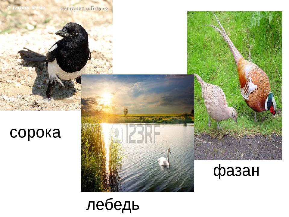 сорока лебедь фазан