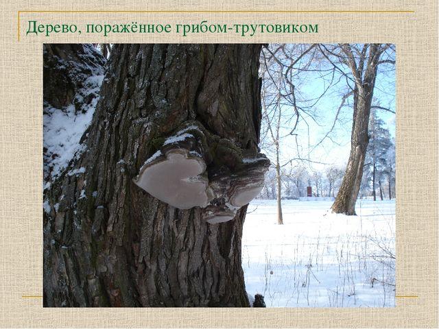 Дерево, поражённое грибом-трутовиком