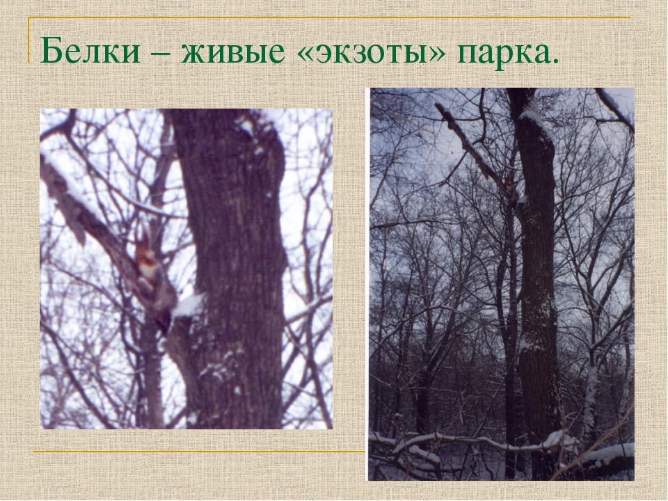 Белки – живые «экзоты» парка.