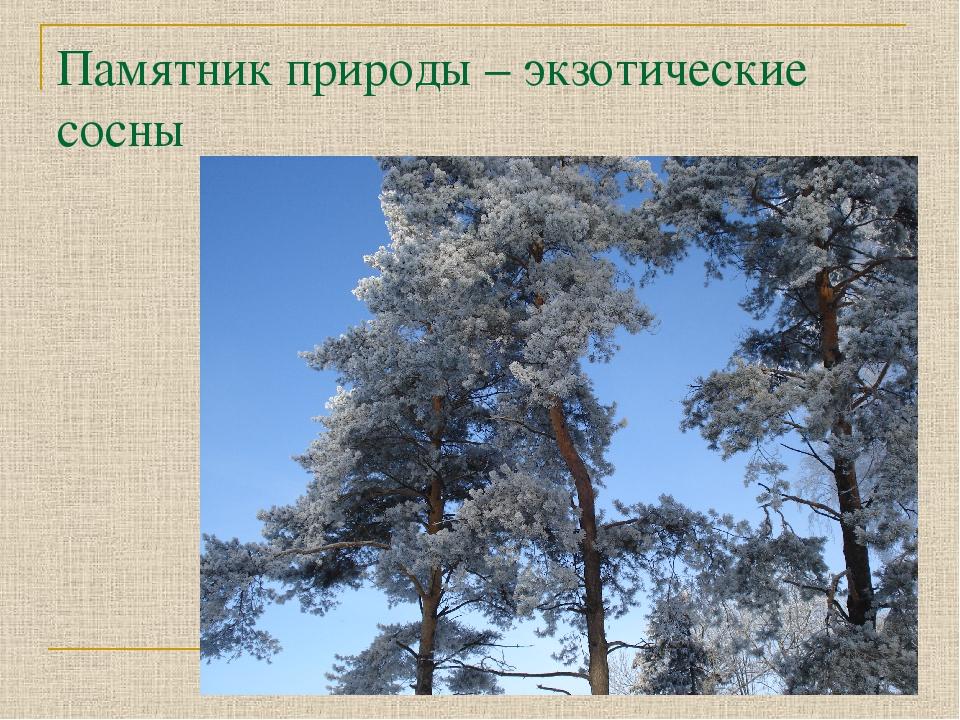 Памятник природы – экзотические сосны