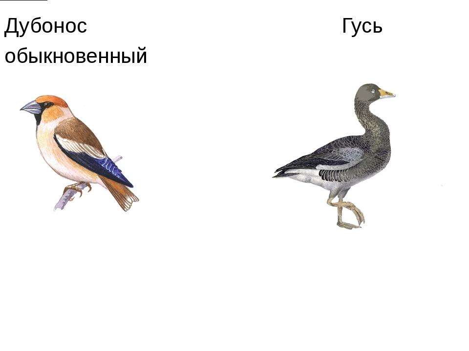 Дубонос Гусь обыкновенный