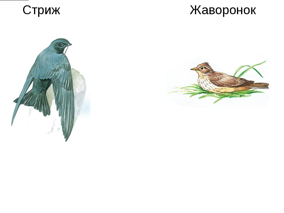 Стриж Жаворонок