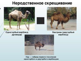 Одногорбый верблюд дромедар Бактриан (двугорбый верблюд) Нар — гибрид первог
