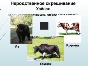 Неродственное скрещивание Хайнак (жвачное млекопитающее, гибрид яка и коровы)