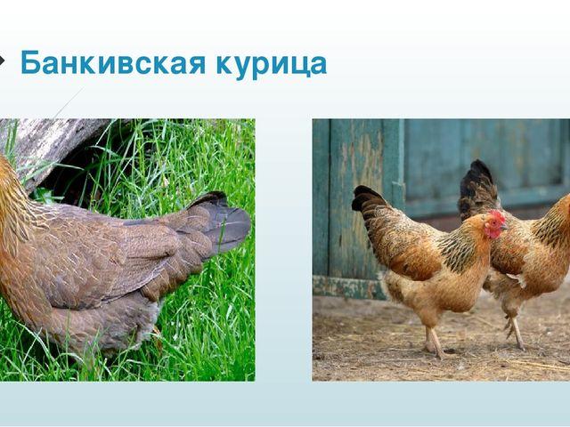 Банкивская курица