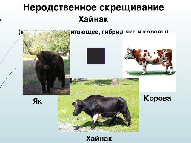 Неродственное скрещивание Хайнак (жвачное млекопитающее, гибрид яка и коровы)...