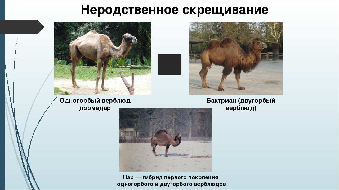 Одногорбый верблюд дромедар Бактриан (двугорбый верблюд) Нар — гибрид первог...