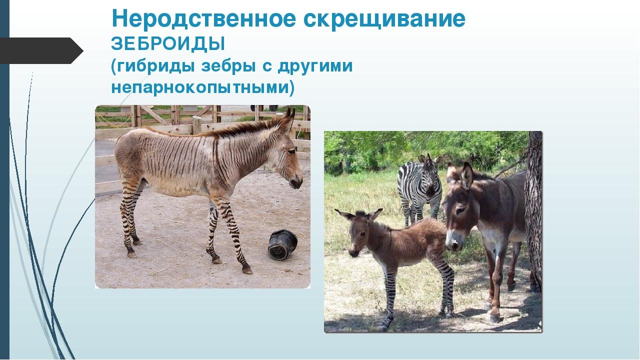 Неродственное скрещивание ЗЕБРОИДЫ (гибриды зебры с другими непарнокопытными)...